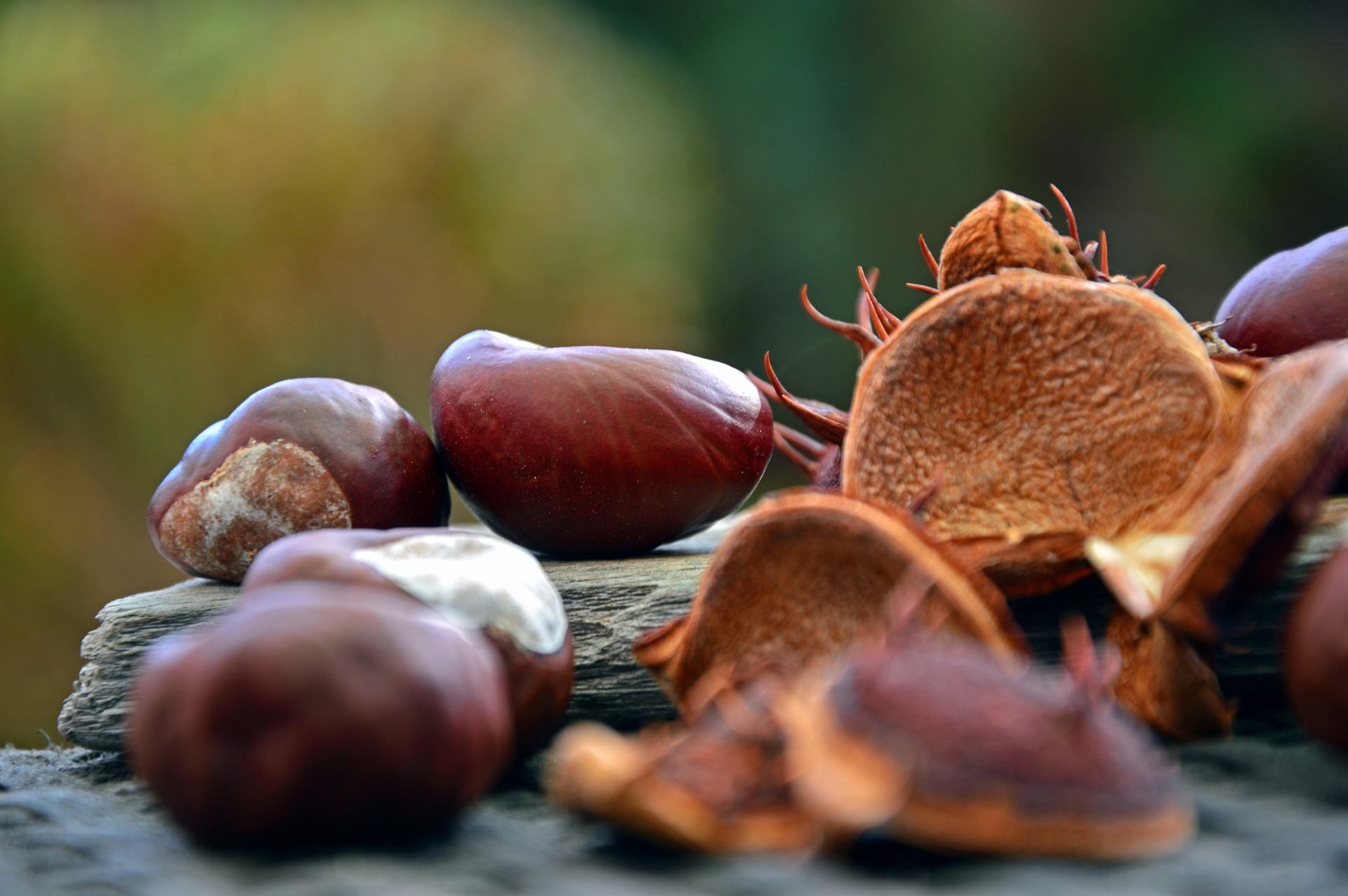 chestnut-3815248_1920